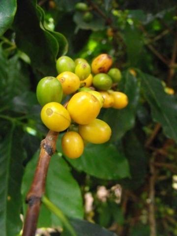 Plantacja kawy w Brazylii – Zapowiada się obfity zbiór zółtych owoców kawy odmiany Yellow Bourbon.