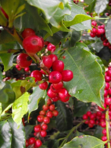 Plantacja kawy w Brazylii – Owoce są już dojrzałe, a zbiory zapowiadają się obficie.