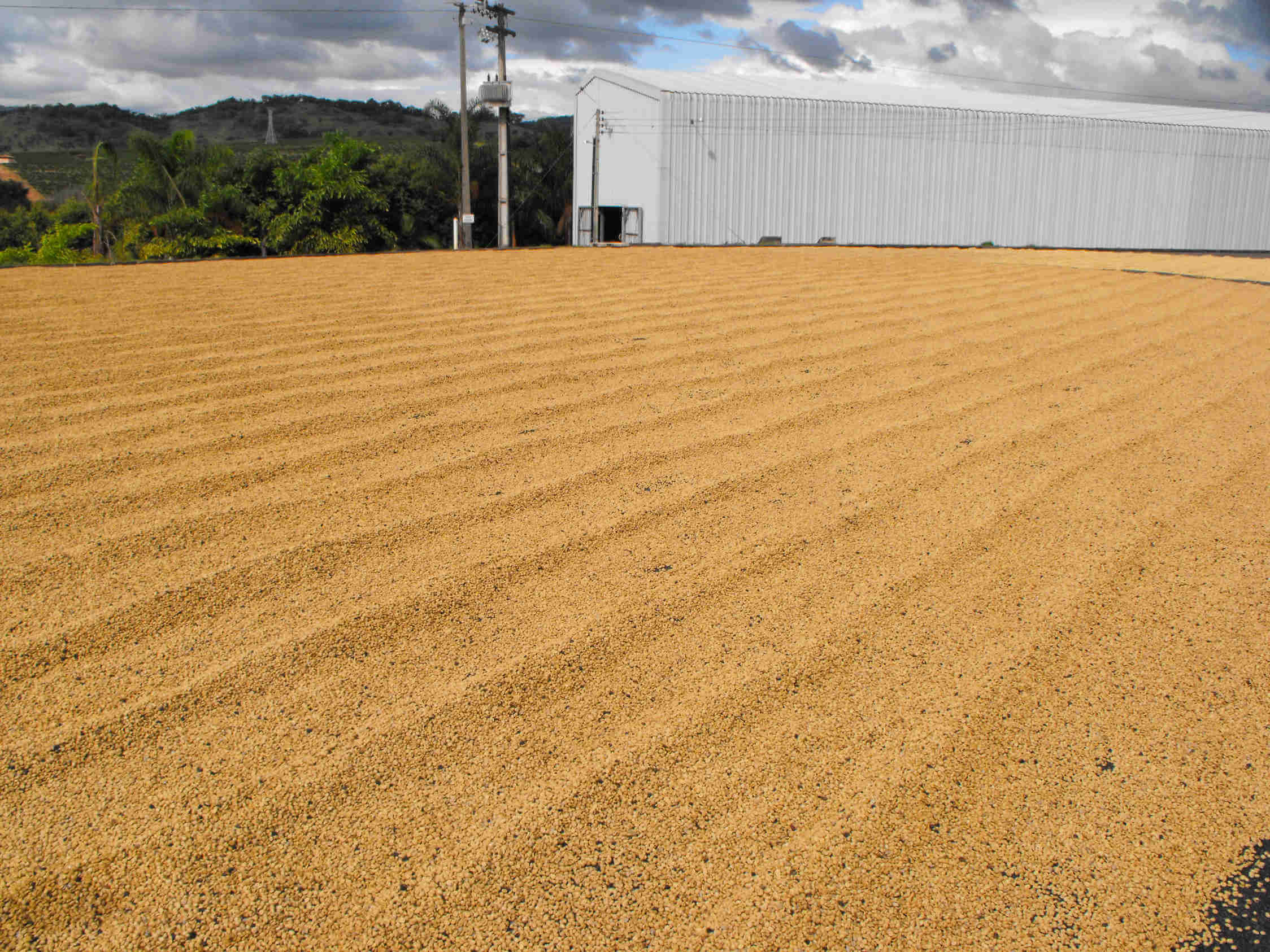 Zbiory kawy w Brazylii – Po oczyszczeniu i posortowaniu kawa jest suszona na patio przez ok. 3 dni.