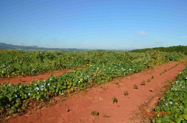 Plantacja kawy w Brazylii – Aby zaradzić suszy, która spowodowała straty w uprawach dochodzące do 20%, na niektórych plantacjach podjęto próby posadzenia roślin, których zadaniem jest częściowe zatrzymanie wody w glebie.