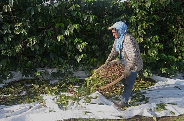 Zbiory kawy w Brazylii – Podczas zbiorów pracownicy potrząsają specjalnymi sitami i podrzucają na nich kawę w celu wstępnego oddzielenia owoców kawowych od liści i innych zanieczyszczeń.