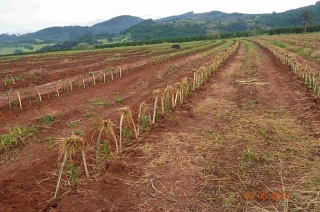 Plantacja kawy w Brazylii - Z uwagi na zmechanizowany sposób zbiorów, na brazylijskich plantacjach nie rosną drzewa, które mogłyby ochornić kawowce przed słońcem, tzw. shade trees. Na nadmierne promieniowanie słoneczne i brak deszczu szczególnie narażone są młode roślinki. Aby zapobiec skutkom nadmiernego nasłonecznienia, nad młodymi drzewkami ustawia się osłonki z trawy.