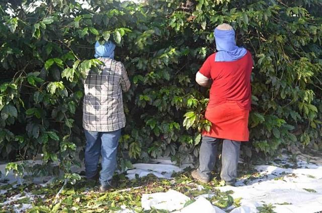 Zbiory kawy w Brazylii – Zbiory kawy w Brazylii trwają, w zależnosći od regionu, od kwietnia – czerwca do lipca – września. Im wyżej położone tereny upraw, tym później dojrzewa ziarno. Na fotografii nietypowy dla tego kraju zbiór ręczny.