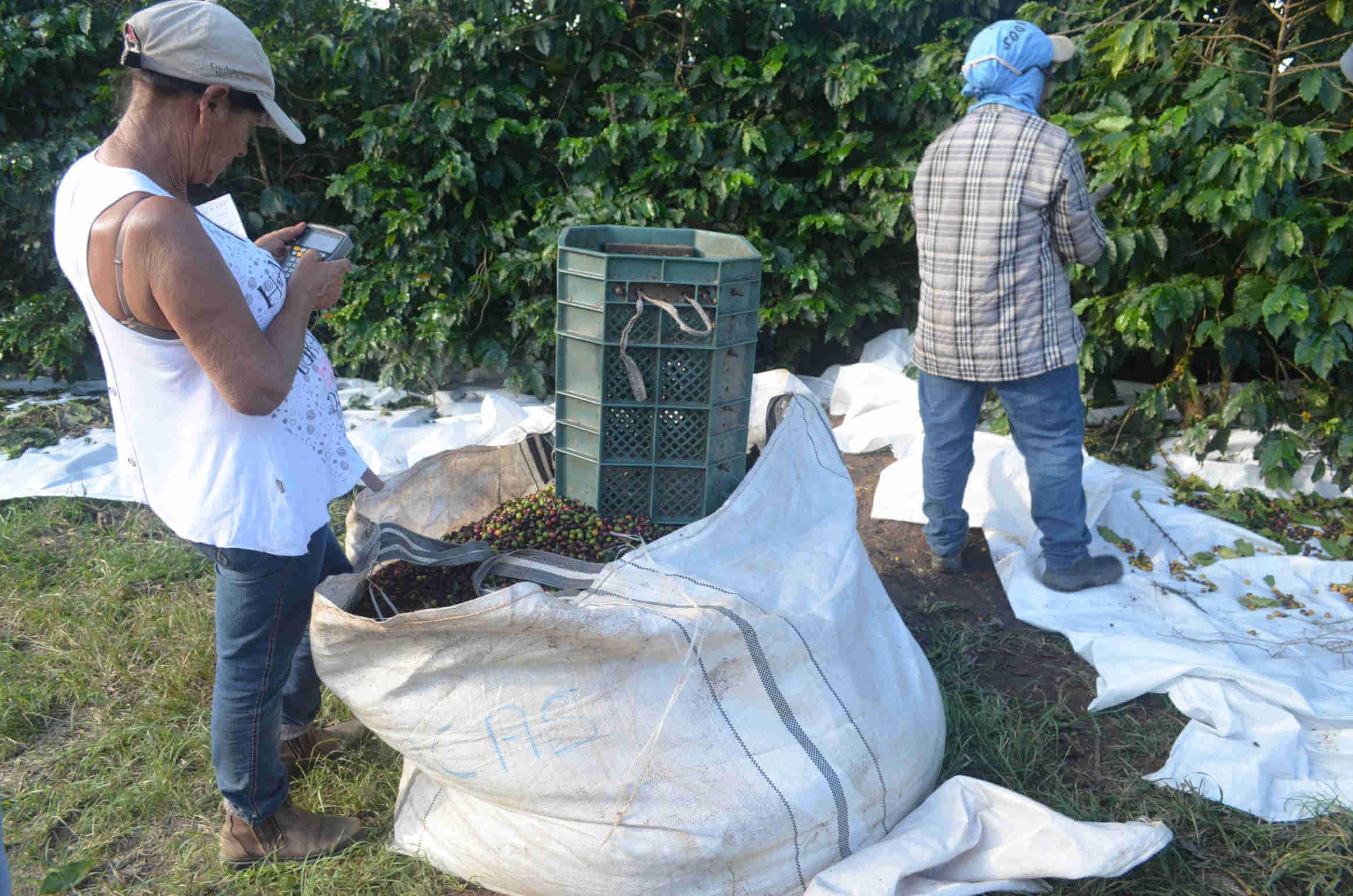 Zbiory kawy w Brazylii – Owoce są zbierane do plastikowych wiader, a następnie przesypywane do worków. Każdy zbieracz zlicza ilość zebranej kawy, od czego uzależniona jest wysokość wypłaty.