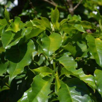 Produkcja kawy w Brazylii