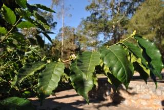 Okazała Mokka o wyjątkowo pięknych, jasnozielonych liściach