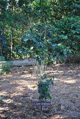 Drzewka kawowe  -Każda z odmian jest opatrzona podpisem, co pozwala na porównanie poszczególnych gatunków